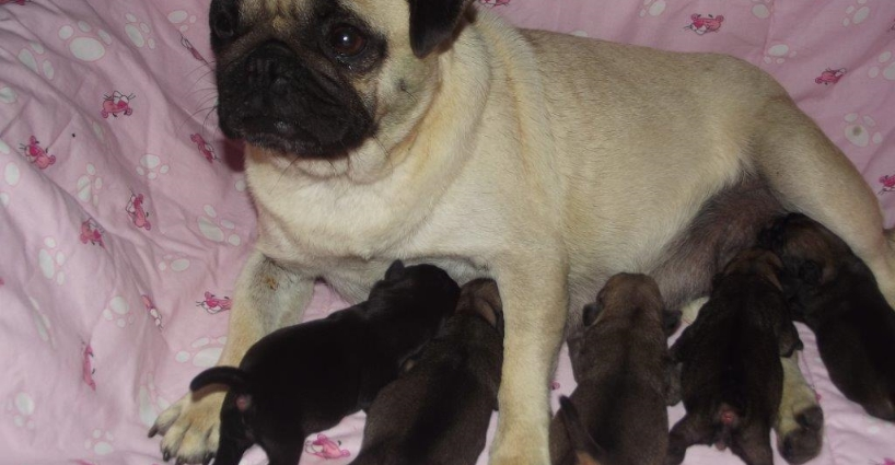 New Litter - Pug Puppies, Day 1