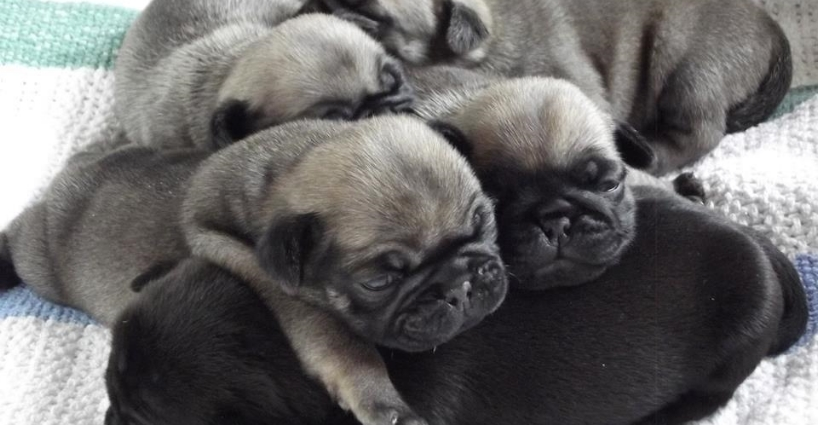 New Litter - Pug Puppies, 2 Weeks